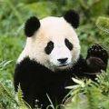 Portrait de panda-sournois