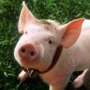 Portrait de Babe le cochon